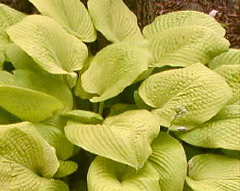 Hosta 'Treasure'