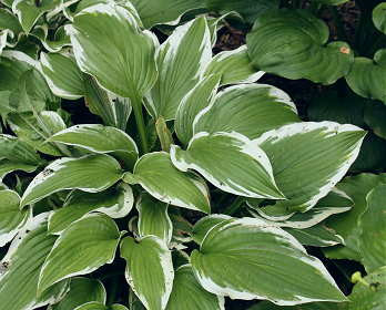 Hosta 'Winter Warrior'