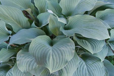 Hosta 'Blue Mountains'