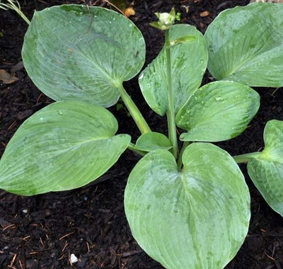 Hosta 'Blue Sensation'