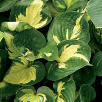 Hosta 'Prince of Darkness'