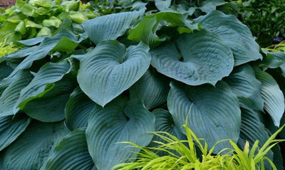 Hosta 'Montreal Blue Ice Storm'