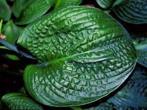 Hosta 'Lakeside Pebbles'