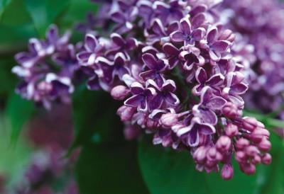 Syringa vulgaris 'Albert F. Holden'