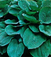 Hosta 'Bressingham Blue'
