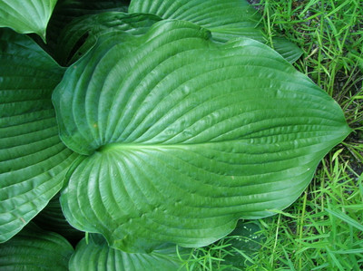 Hosta 'Fluctuans'