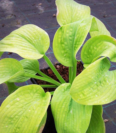 Hosta 'Fourteen Carats'