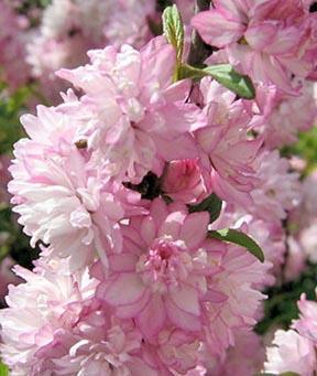 Prunus glandulosa