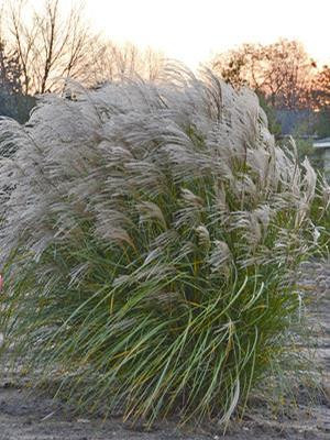 Miscanthus sinensis 'Autumn Anthem'