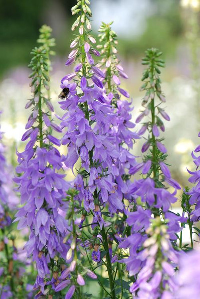 Adenophora confusa 'Gaudi Violet'