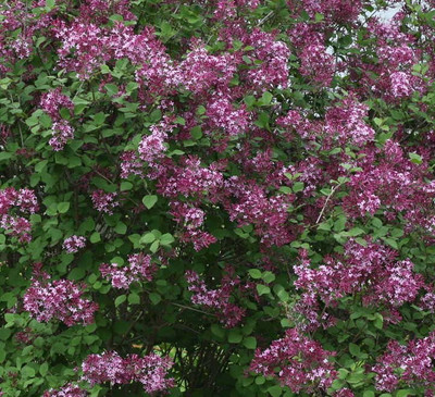 Syringa Bloomerang Purple