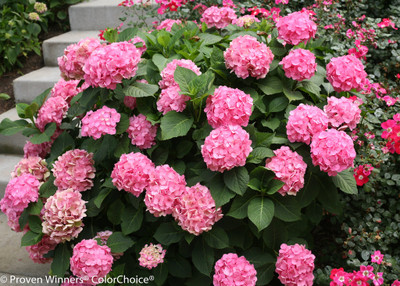 Hydrangea macrophylla Let's Dance 'Big Easy'