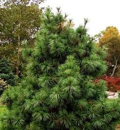 Pinus koraiensis 'Nana'