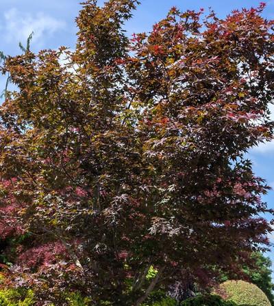 Acer x pseudosieboldianum 'Dark Star'