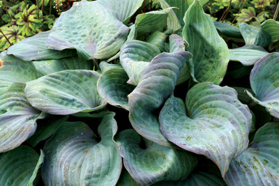 "Hosta Aquamarine is new for 2018! It has thick, glaucous blue leaves that have a unique purple blush margins. It grows to 15-18"" with lavender purple flowers."