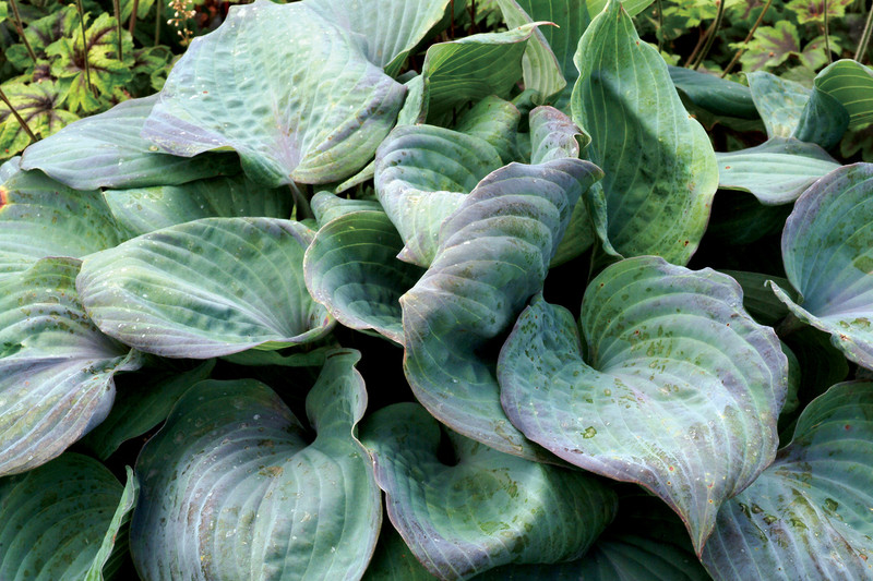 """Hosta Aquamarine is new for 2018! It has thick, glaucous blue leaves that have a unique purple blush margins. It grows to 15-18"""" with lavender purple flowers."""