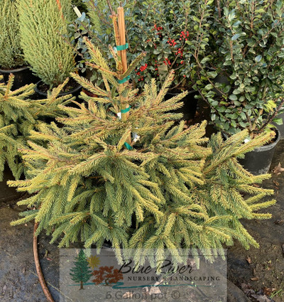 Evergreens Spruce Picea Page 1 Blue River Nursery
