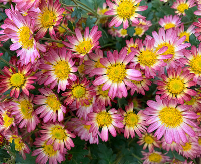 "Chrysanthemum ""Wills Wonderful"""