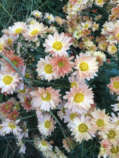 Chrysanthemum 'Rhumba'