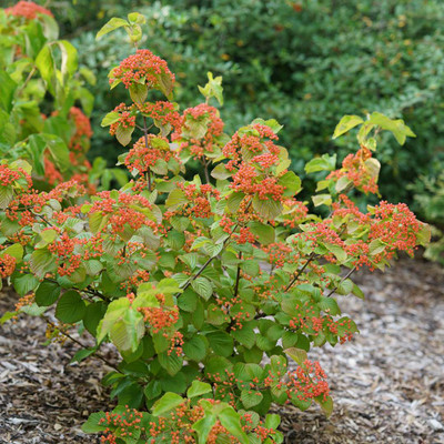 Photograph courtesy of Spring Meadow Nursery, Inc.