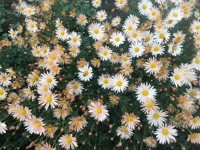 Chrysanthemum 'Single Korean Apricot'