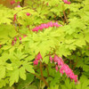 Dicentra 'Gold Heart' has glowing chartreuse yellow foliage and bright pink flowers