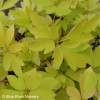 The chartreuse yellow foliage of 'Gold Heart 'Dicentra'