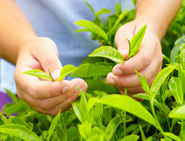 det-hands-tea-leaves.jpg
