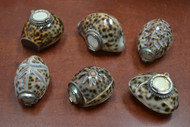 6 Pcs Assort Tiger Cowrie Shell Brass Cap Trinket Boxes