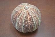 Brown English Cornish Channel Urchin