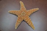 "Sugar Starfish Sea Shell Beach Wedding Nautical 8"" - 9"""