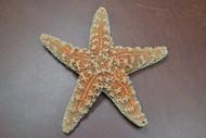 "Sugar Starfish Sea Shell Beach Wedding Nautical 6"" - 7"""