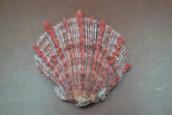 "Raw Red Spiny Oyster Clam Sea Shell 4"" - 5"""