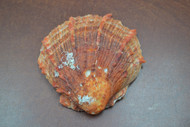 "Raw Orange Spiny Oyster Clam Sea Shell 4"" - 5"""