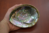"Green Abalone Shell 5"" - 5 1/2"""