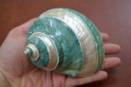 Green Mother of Pearl Banded Jade Turbo Hermit Crab Shell 4 1/2""