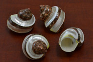 Polished Banded Petholatus Jade Turbo Turban Shell