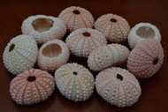Pink Sea Uchins