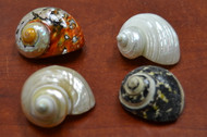 "4 Pcs Assort Small Pearl Turbo Hermit Crab Shell 2"" - 2 1/2"""