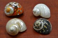 """4 Pcs Assort Small Pearl Turbo Hermit Crab Shell 2"""" - 2 1/2"""""""