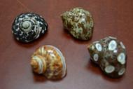 """4 Pcs Assort Small Pearl Turbo Hermit Crab Shell 1 1/2"""" - 2"""""""