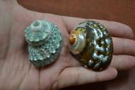 """2 Pcs Assort Small Pearl Turbo Hermit Crab Shell 1 1/2"""" - 2"""""""