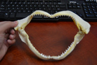 Black Tip Shark Teeth Mouth Jaw 9""
