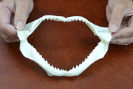 Pig Eye Shark Teeth Mouth Jaw 6""