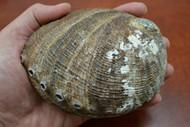 "One Side Polished Green Abalone Seashell 4 1/2"" - 5"""