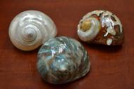 3 Pcs Assort Pearl Green Sarmaticus Hermit Crab Shells