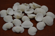 White Mini Small Ark Clam Seashell