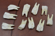 White Genuine Back Buffalo Teeth Tooth Pendants