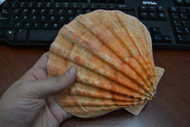 Large Orange Lion's Paw Scallop Seashell
