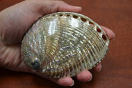 "Both Side Polished Green Abalone Seashell 4"" - 4 1/2"""